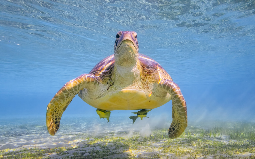 Green sea turtle on Red Sea