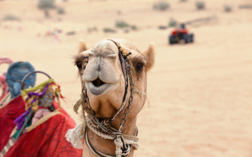 Arabian camel in the desert