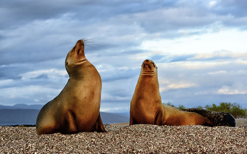 Galapagos sea lions on Fernandina Island