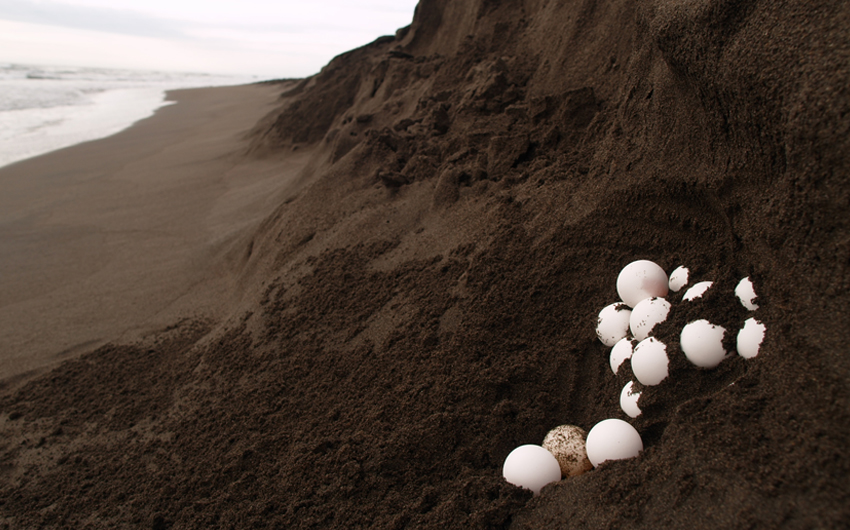 Sea turtle eggs in Tortuguero National Park