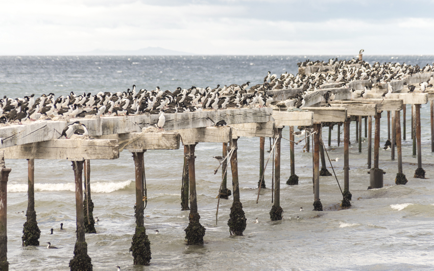 Cormorants in Punta Arena, Chile