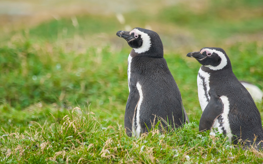 Two magellanic penguins
