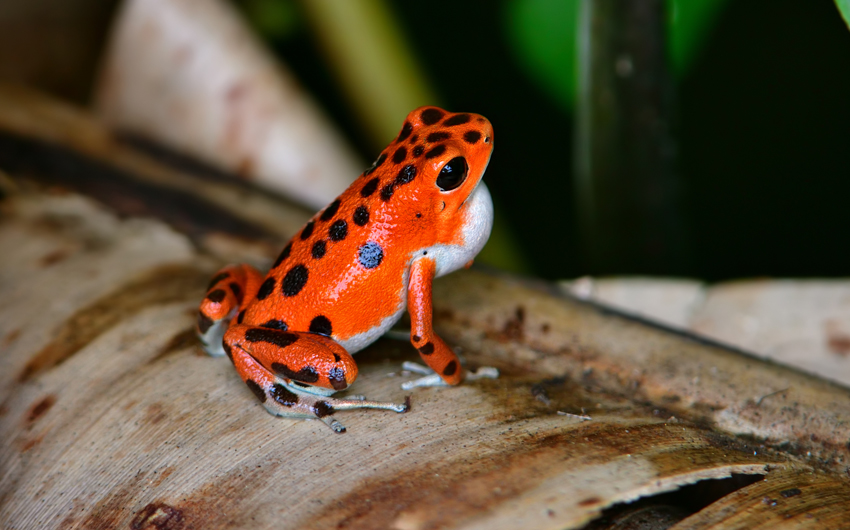Strawberry poison dart frog at Bocas del Toro in Panama
