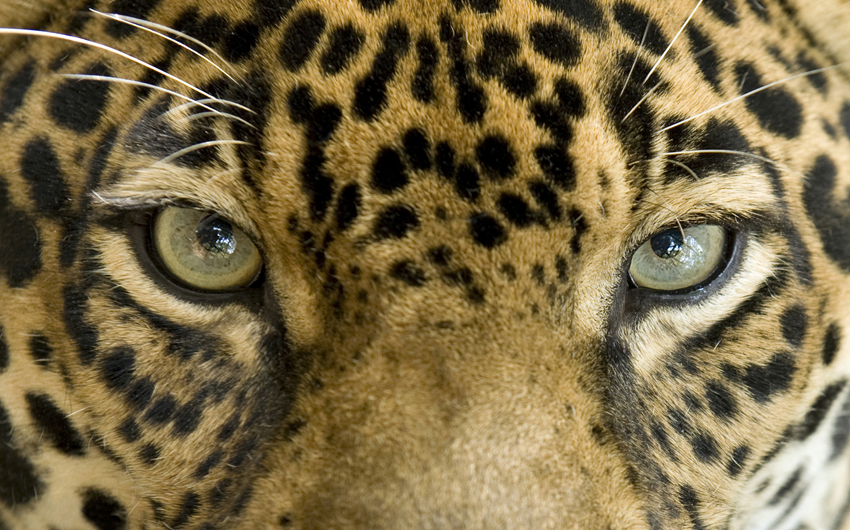 Close up eyes of a jaguar
