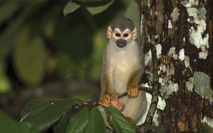 Common squirrel monkey (Saimiri sciureus), Brazil