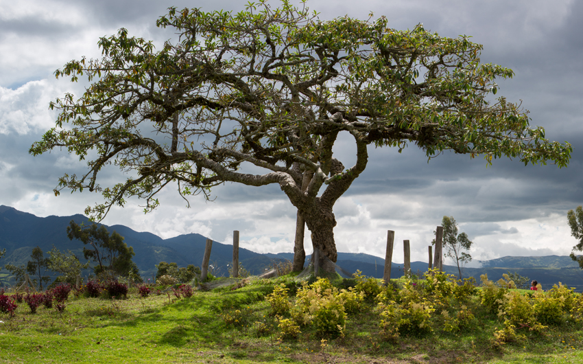 El Lechero, the sacred tree of Otavalo